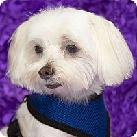Adopt A Pet :: Ozzie - San Dimas, CA