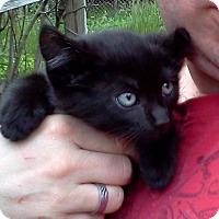 Adopt A Pet :: Patch Kitties HUDINI&THEO'14 - New York, NY