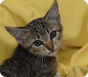 American Shorthair Kitten for adoption in Manhattan, New York - Fiona