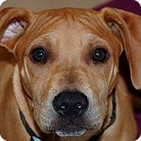 Adopt A Pet :: Ginger - Salem, WV