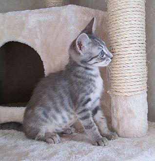 Domestic Shorthair Cat for adoption in San Bernardino, California - Rain