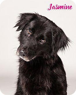 Flat-Coated Retriever Dog for adoption in White Hall, Arkansas - Jasmine