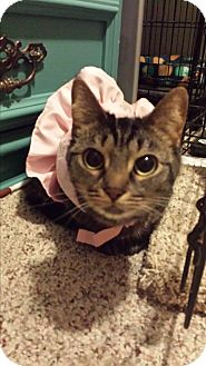 Domestic Shorthair Cat for adoption in Garden City, Michigan - Annabelle