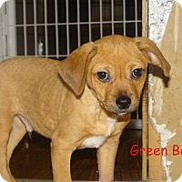 Chihuahua Mix Puppy for adoption in Newport, Kentucky - Green Bean