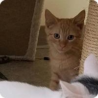 Domestic Shorthair Kitten for adoption in Trenton, New Jersey - Rafiki