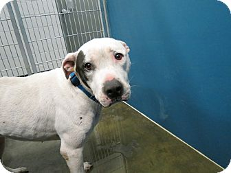 Pit Bull Terrier/Boxer Mix Dog for adoption in Henderson, North Carolina - Acei