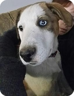 Retriever (Unknown Type) Mix Puppy for adoption in Alexandria, Virginia - Blueberry Muffin