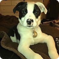 Adopt A Pet :: Beckham - Dayton, OH