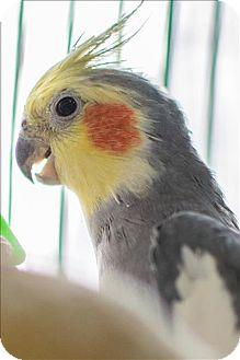 Cockatiel for adoption in Elizabeth, Colorado - Dino
