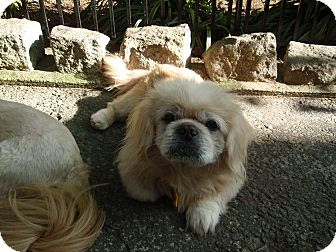 Pekingese Mix Dog for adoption in Richmond, Virginia - Milford