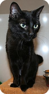 Domestic Shorthair Cat for adoption in Edmonton, Alberta - Hailey