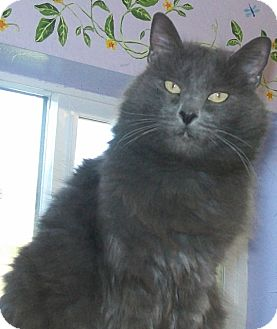 Domestic Longhair Cat for adoption in Grants Pass, Oregon - Mandy