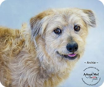 Briard/Basset Hound Mix Dog for adoption in Phoenix, Arizona - Archie