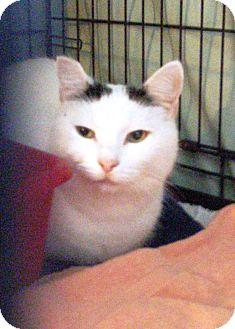Domestic Shorthair Cat for adoption in Acushnet, Massachusetts - Oreo II