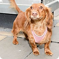 Adopt A Pet :: Baby Princess - New York, NY