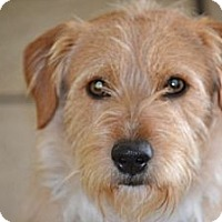 Adopt A Pet :: Benji- I am a people dog! - Redondo Beach, CA