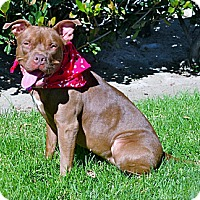 French Mastiff/Pit Bull Terrier Mix Dog for adoption in Los Angeles, California - Cinnamon