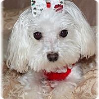 Adopt A Pet :: Bailey Blossom - Palm City, FL