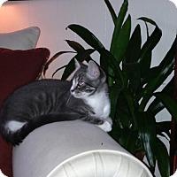 Adopt A Pet :: Bootsie - Laguna Woods, CA