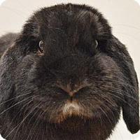 Adopt A Pet :: ***BUNNIES! BUNNIES! BUNNIES!*** - Virginia Beach, VA