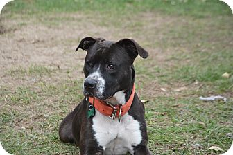 American Staffordshire Terrier Mix Dog for adoption in Stapleton, Alabama - Bully
