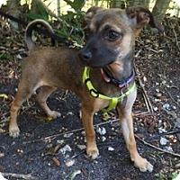 Adopt A Pet :: Petra - Davie, FL