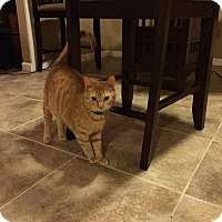 Domestic Shorthair Cat for adoption in oklahoma city, Oklahoma - Cali