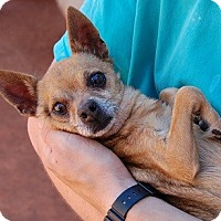 Chihuahua Mix Dog for adoption in Las Vegas, Nevada - Winston