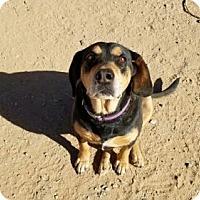 Adopt A Pet :: Hot Rod - Surprise, AZ