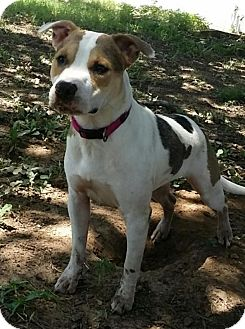 Staffordshire Bull Terrier Mix Dog for adoption in Flower Mound, Texas - Echo