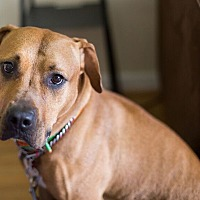 Rhodesian Ridgeback/Retriever (Unknown Type) Mix Dog for adoption in Reisterstown, Maryland - Dallas