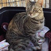 Egyptian Mau Cat for adoption in Cerritos, California - Tuesday