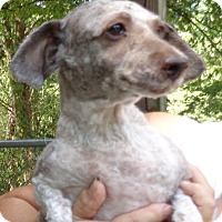 Poodle (Miniature) Dog for adoption in Crump, Tennessee - Bailey