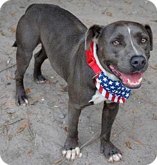 American Pit Bull Terrier Mix Dog for adoption in Ridgeland, South Carolina - Colorado