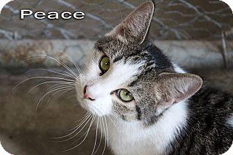 Domestic Shorthair Cat for adoption in Texarkana, Arkansas - Peace