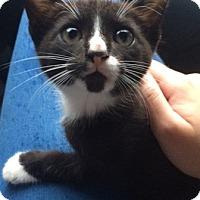 Domestic Shorthair Kitten for adoption in Madisonville, Louisiana - J.D.