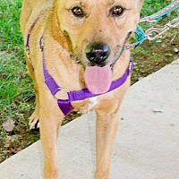 Labrador Retriever Mix Dog for adoption in Midlothian, Virginia - George