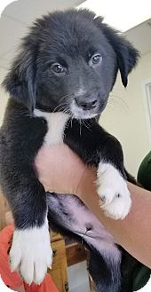 Border Collie/Newfoundland Mix Puppy for adoption in Manchester, New Hampshire - Luke - pending