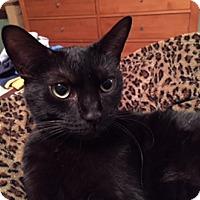 Domestic Shorthair Cat for adoption in Cincinnati, Ohio - Ember