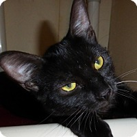 Bombay Kitten for adoption in Long Beach, California - Sashay