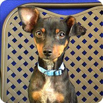 Miniature Pinscher/Chihuahua Mix Dog for adoption in Fort Davis, Texas - Gwen