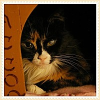 Adopt A Pet :: Angie baby - Island Heights, NJ