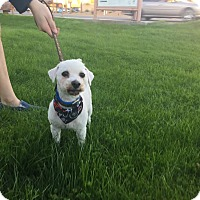 Poodle (Miniature) Mix Dog for adoption in Phoenix, Arizona - SCREECH