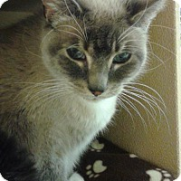 Siamese Cat for adoption in Battle Ground, Washington - Pandora