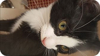 Domestic Shorthair Cat for adoption in Richmond, Virginia - Bernie