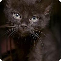 Adopt A Pet :: Irish Rose - Montclair, NJ