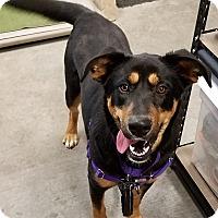 Shepherd (Unknown Type)/Labrador Retriever Mix Puppy for adoption in Basehor, Kansas - Willow