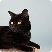 Adopt A Pet :: T'Challa - Seattle, WA