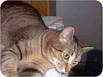Domestic Shorthair Cat for adoption in Stuarts Draft, Virginia - Hope