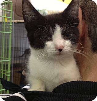Domestic Shorthair Kitten for adoption in Island Park, New York - Rufus
